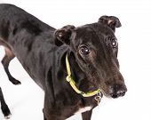 pic of greyhounds  - Picture of a black greyhound on a whiteground