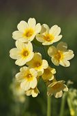 picture of cowslip  - This image shows a macro from a little cowslip bloom - JPG