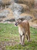 foto of cougar  - this is puma or cougar in zoo - JPG