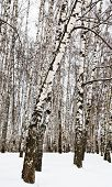 image of birchwood  - birch trees in urban park in winter - JPG
