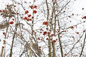 image of rowan berry  - frozen red rowan berry on tree in winter - JPG