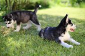 stock photo of puppy eyes  - Two puppies husky sitting on the green lawn - JPG