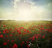 stock photo of poppy flower  -  landscape poppy flowers in the sky - JPG