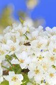 stock photo of pollen  - Honeybee harvesting pollen from blooming flowers - JPG