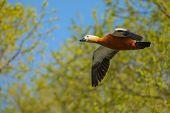stock photo of ducks  - Wild duck flies over the water to home - JPG