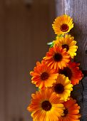 picture of cosmetology  - blooming calendula a plant used in medicine and cosmetology  - JPG