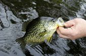stock photo of crappie  - Crappie being released back to the lake by a fisherman - JPG