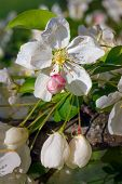 stock photo of bud  - Crab apple tree flowers both opened and buds are photographed close in spring - JPG