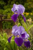 pic of purple iris  - Image beautiful purple irises in a garden Northern Greece - JPG