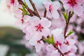 foto of fukushima  - full bloom of cherry blossom - JPG