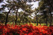 stock photo of azalea  - Royal Azalea red flowers among the pine tree forest near a beach in Gangneung South Korea - JPG