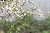 image of cherries  - Cherry blossom in full bloom - JPG