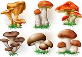 picture of chanterelle mushroom  - vector illustration of various fungi boletus champignon Leccinum Chanterelle Oyster - JPG