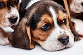 stock photo of puppy eyes  - Beagle Puppy 1 month old lying in front of white background - JPG