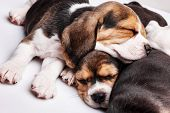 foto of puppy beagle  - The three beagle Puppies 1 month old sleeping in front of white background - JPG