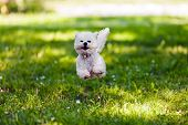 picture of bichon frise dog  - cute small bichon running in the park notice shallow depth of field - JPG