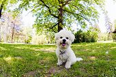 foto of irresistible  - cute small bichon sitting in grass in the park notice - JPG