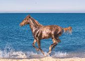 picture of foal  - The red foal galloping along the seaside - JPG