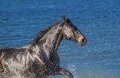 image of wild horse running  - Black horse running in the blue sea - JPG